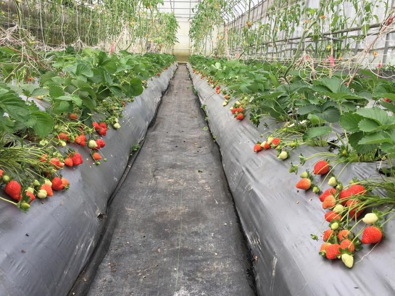 6有機草莓栽種園區