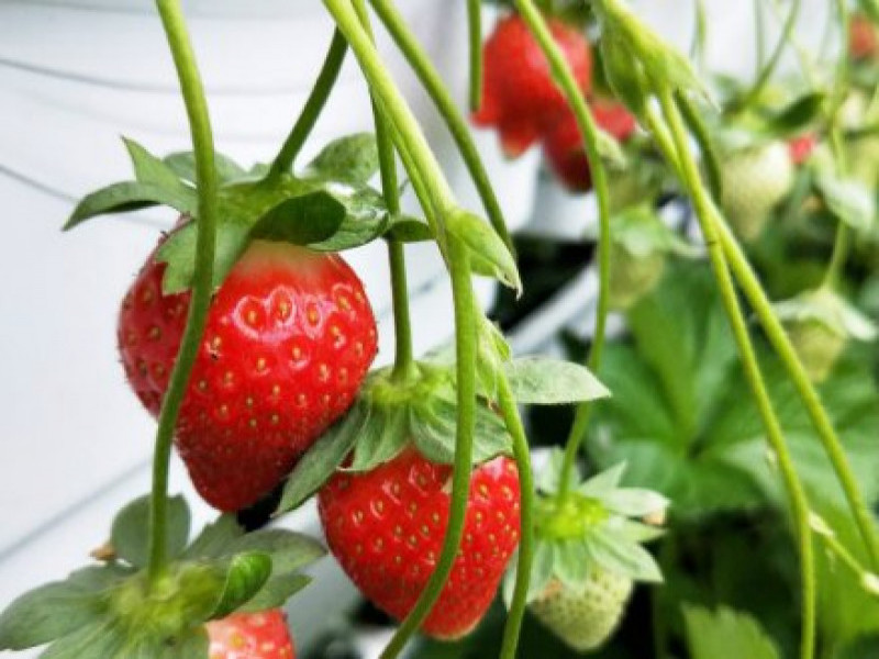 大崙頭草莓園 0916-073-682