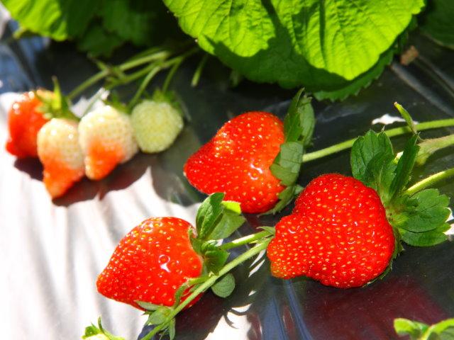 內湖區-草莓古厝輕鬆遊