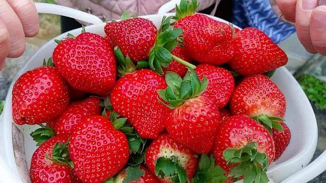 一年一度的草苺季又來臨囉!