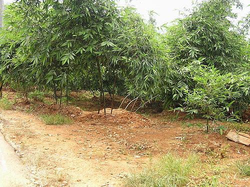 大安區農會  綠竹筍產業簡介