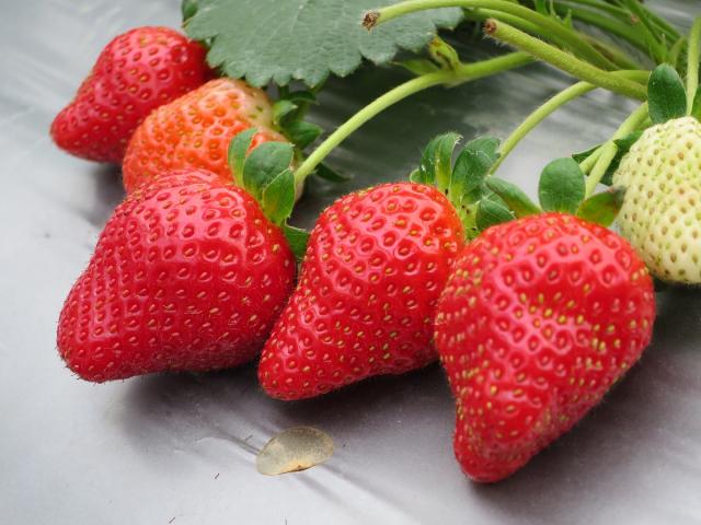 內湖草莓季活動  3月4日週末登場囉!